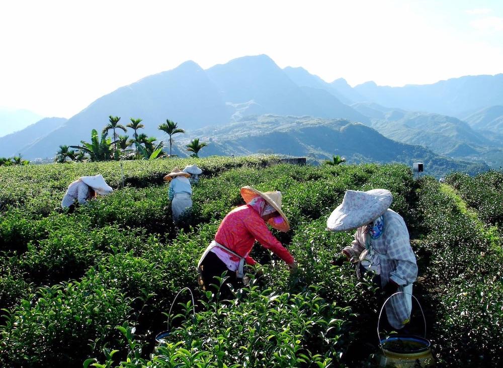 台湾茶農家