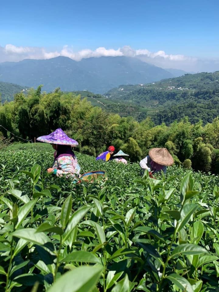 台湾茶 阿里山高山茶